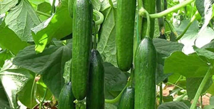 Cucumber- Beit Alpha                      15 Seeds