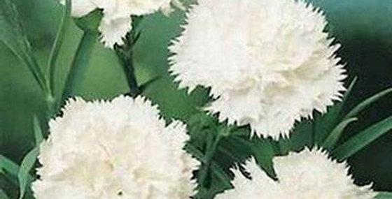 Carnation Grenadin White                 70 Seeds