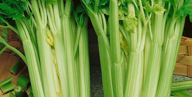 Celery- Tall Utah                                400 Seeds