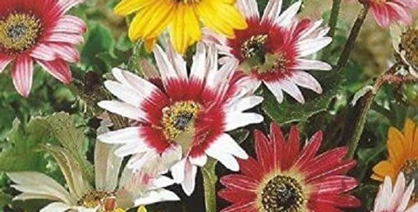 Arctotis Hybrida- Harlequin Mixed                    40 seeds