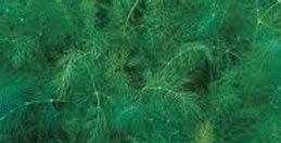 Dill- Tetra                                                  120 Seeds