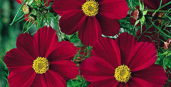 Cosmos Versailles Red                   40 Seeds