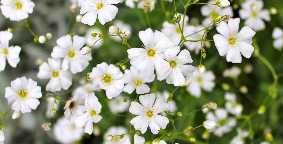 Gypsophila Market White           200 Seeds