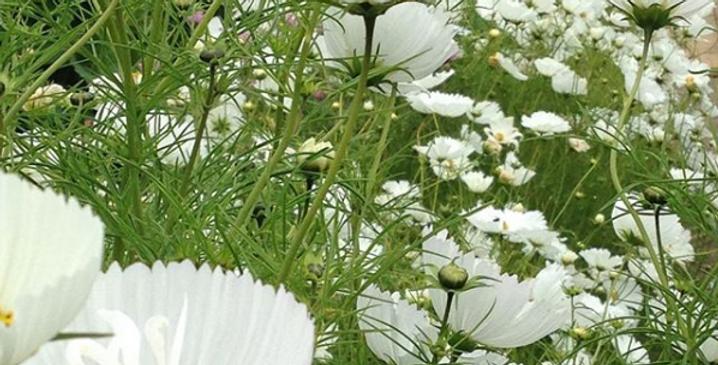 Cosmos Cupcake White                     40 Seeds