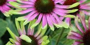 Echinacea- Purpurea Green Twister    10 Seeds