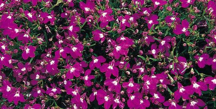 Lobelia- Rosamond                          300 seeds