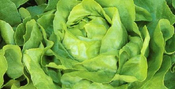 Lettuce- White Boston                   100 Seeds