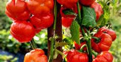 Eggplant - Red Ruffle                        30 Seeds
