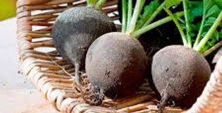 Radish- Black Spanish Round        25 Seeds