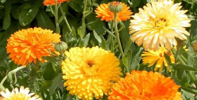 Calendula Pacific Beauty Mix         25 Seeds