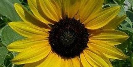 Sunflower- Matilda F1                 8 Seeds