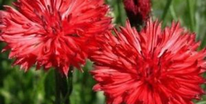 Centaurea Red Ball                     40 Seeds