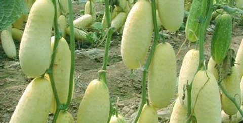 Cucumber- Redlands Long White -20 Seeds
