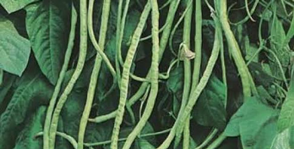 Bean- Red Dragon / Snake Bean   (Climbing)            20 Seeds