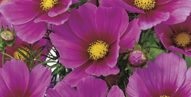 Cosmos Versailles Dark Pink Eye                   40 Seeds