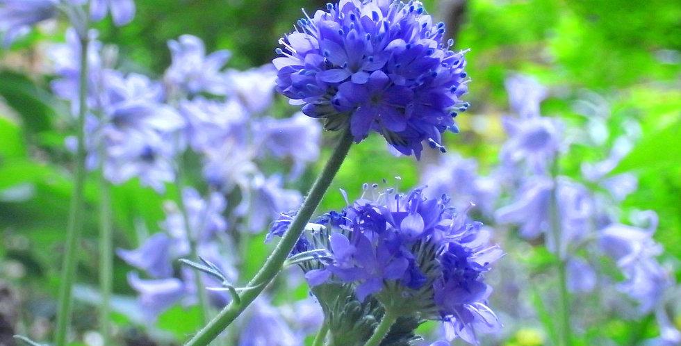 Gilia Leptantha                              200 Seeds
