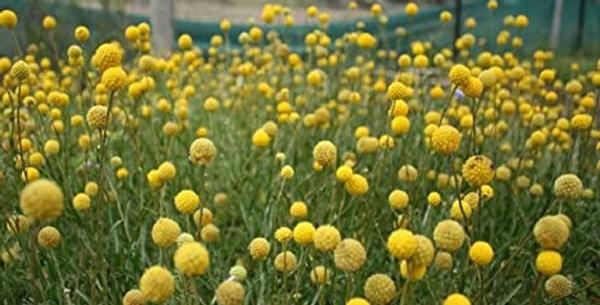 Billy Button- Woollyheads                50 Seeds
