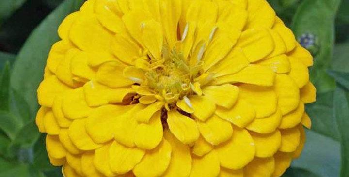 Zinnia - Canary Yellow            50 Seeds