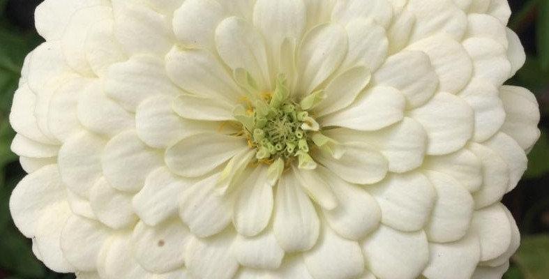 Zinnia Polar Bear White            50 Seeds