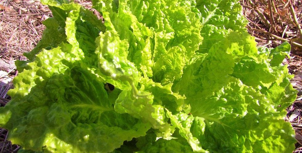 Lettuce- Australian Yellow Leaf          100 Seeds