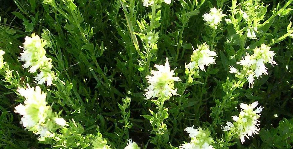Hyssop- White                                        120 Seeds