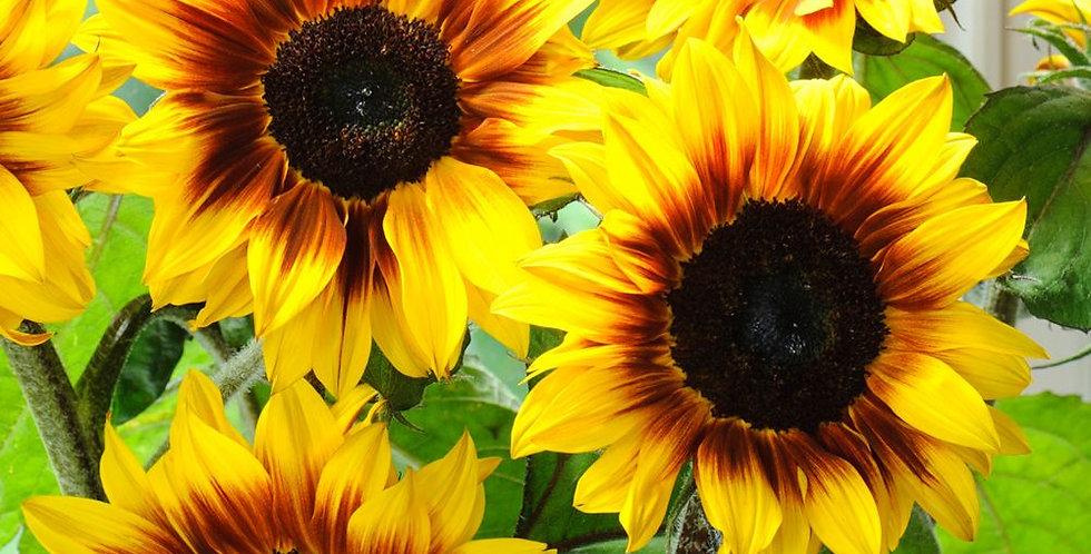 Sunflower- Solar Flash F1                 6 Seeds