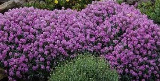 Alyssum Violet Queen                       200 Seeds