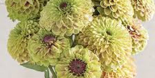 Zinnia Queen Lime with Blush       10 Seeds