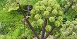 Angelica Archangelica                         30 Seeds
