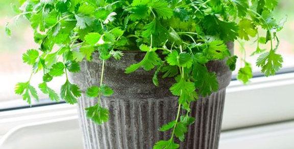 Coriander- Pot Selection                      50 Seeds