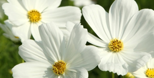 Cosmos Sensations Purity White    40 Seeds