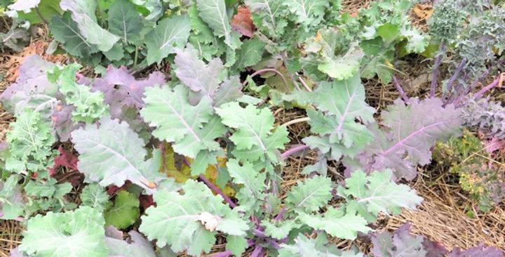 Kale- Garden Mix                                60 Seeds