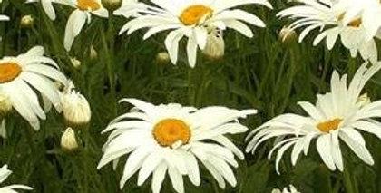 Chrysanthemum Alaska                     120 Seeds
