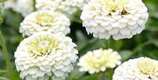 Zinnia Lilliput White        50 Seeds