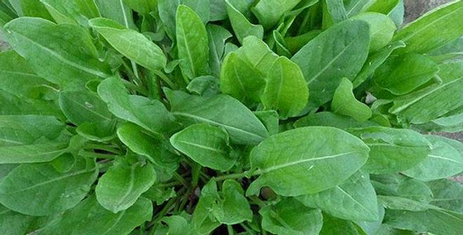 Sorrel                                                         150 Seeds