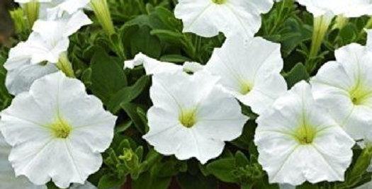 Petunia Snowball White           400 Seeds