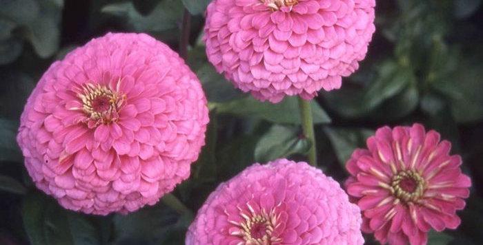 Zinnia Illumination                               50 Seeds