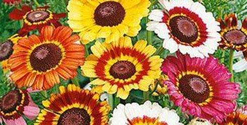 Chrysanthemum Rainbow mix      100 Seeds