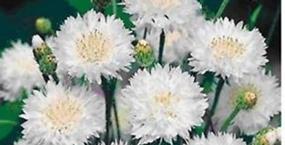 Centaurea White Ball                        40 Seeds