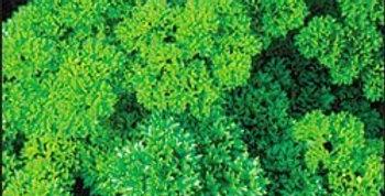 Parsley- Triple Curled                                        120 Seeds