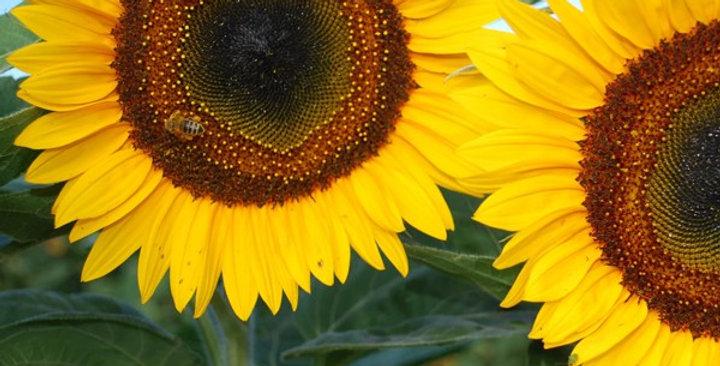 Sunflower- Giant Single