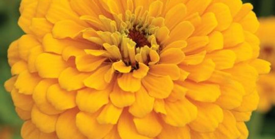 Zinnia Golden State                                 50 Seeds