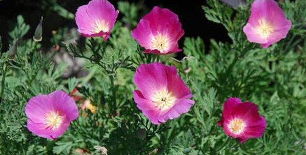 Eschscholzia- Purple Gleam       100 Seeds