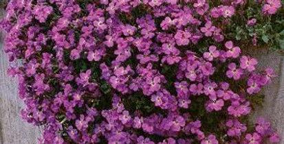 Aubretia Hybrida Purple    200 Seeds