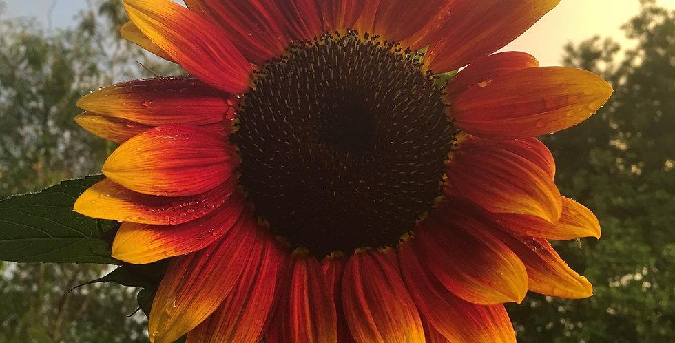 Sunflower- Royal Velvet F1                 10 Seeds