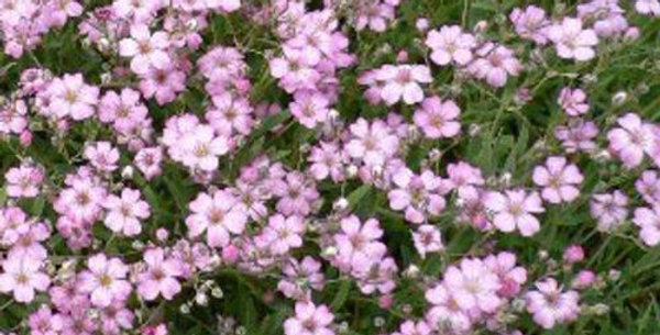 Gypsophila Elegans Rosea              200 Seeds