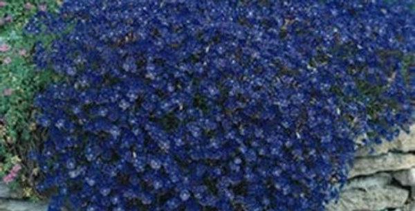 Aubretia Hybrida Blue                        200 Seeds