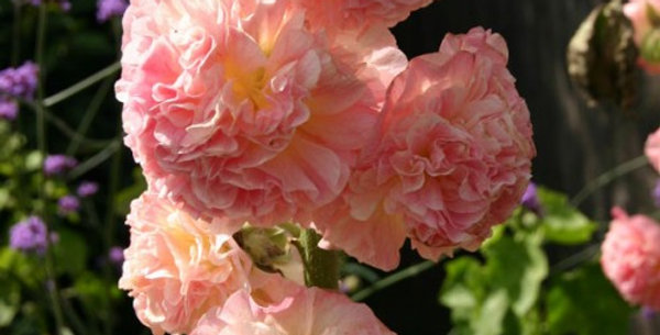 Hollyhock- Peaches and Dreams     10 Seeds