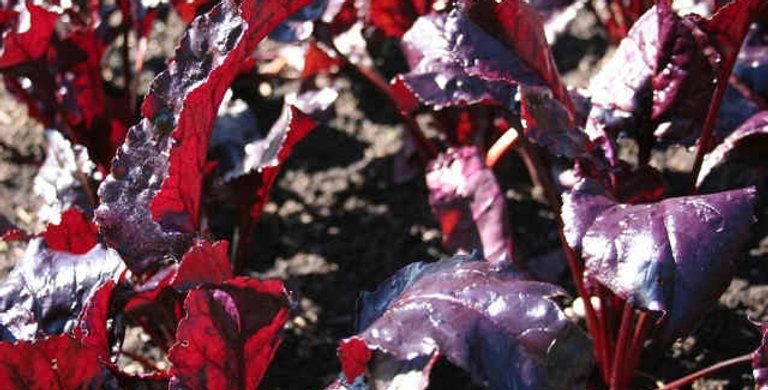Beetroot- Red Devil                 50 Seeds