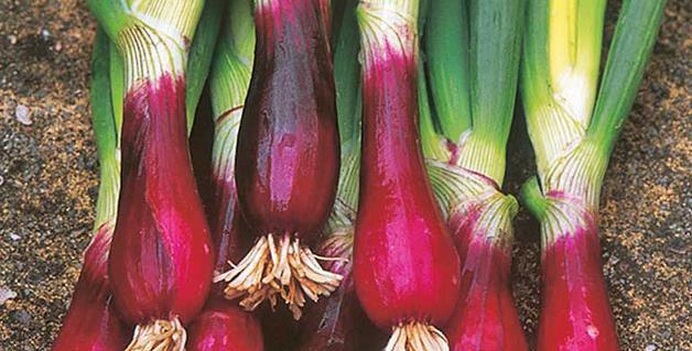 Onion- Bunching Red Beard           50 Seeds